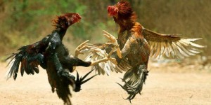 pelea_gallos_drd_noticel