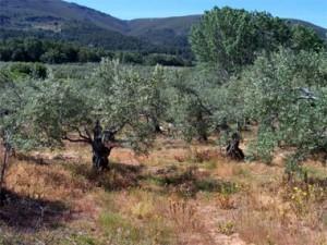 olivar extremeño