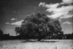 La encina, el árbol tradicional de Extremadura.